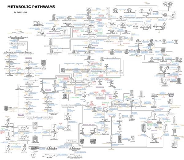 Схема метаболизма.